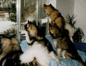 Homer, Shadow, Penny & Star watch out the window