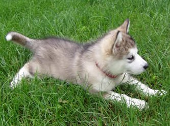 Eskimo and Alaskan Inuit Arctic Names for Dogs