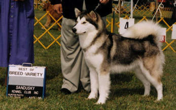 Star gets Best of Breed at the Sandusky Kennel Club