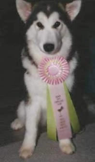 Best Puppy in Show - wearing her ribbon
