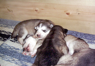 Puppies in a pile in the whelping box