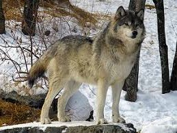Malamutes and Wolves, the difference between a wolf, a malamute and