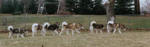 all of our dogs - Penny, Homer, Shadow, Hoover, Nova and Star hunting together in the back yard